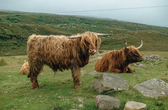 Highland cows vaches
